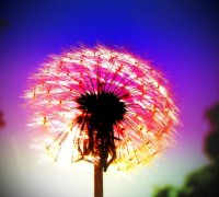 Dandelion Fireworks-PHOTO 183-The halfway mark